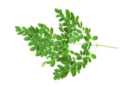 oleifera: Hoja verde del �rbol de r�bano de caballo, Palillo. (Moringa oleifera Lam.) Propiedades medicinales a base de hierbas de Tailandia.
