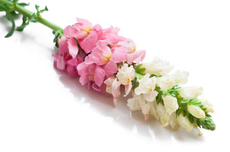 antirrhinum majus: Single stem with pink flowers of snapdragons (Antirrhinum majus) isolated against a white background