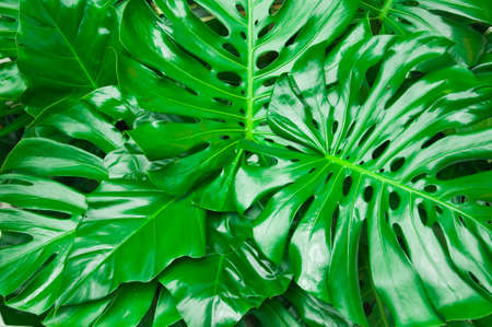 leathery: Philodendron monstera obliqua, green leaf background Stock Photo