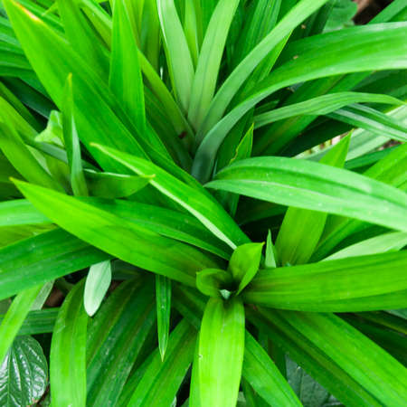 pandanus: The scent of pandanus leaves develops only on withering; the fresh, intact plants hardly have any odour.