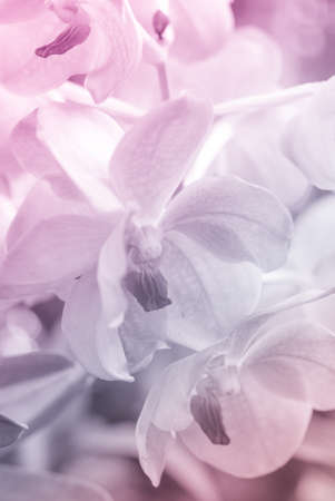 Vanda orchid in soft color and blur style for background, flower photo