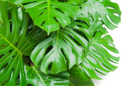 Philodendron monstera obliqua, green leaf background Imagens