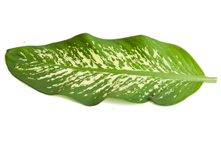 Green leaves of dieffenbachia over white background Stock Photo