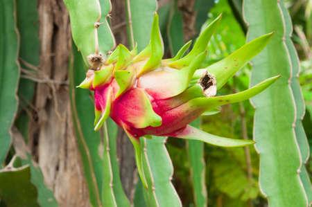 The dragon fruit photo