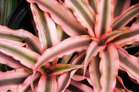 guzmania: Multicolr Bromeliad