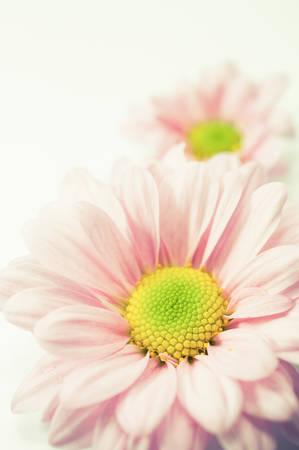 mums: Mums flowers colorful macro  Stock Photo