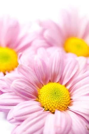Beautiful chrysanthemum flower  photo