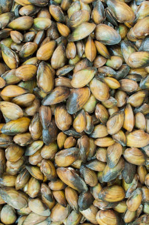 molluscs: Mytilus edulis (The common or edible mussel) living on rocks