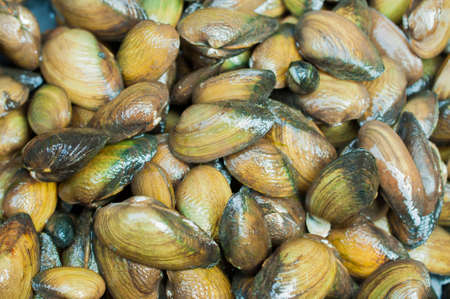 conspicuous: Mytilus edulis (The common or edible mussel) living on rocks