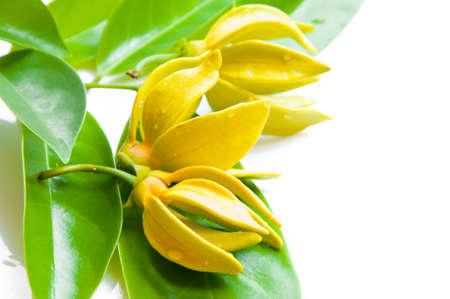 イランイランの花