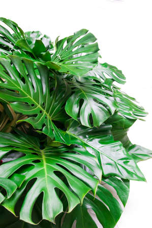 assort: Philodendron monstera obliqua, green leaf background Stock Photo