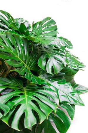 plants species: Philodendron monstera obliqua, verde foglia