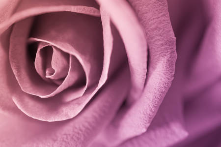Close up of rose petal, valentine background photo