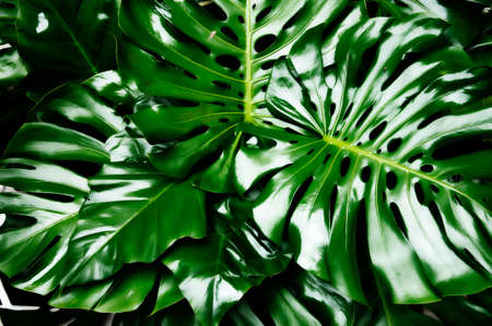 Philodendron monstera obliqua, green leaf background 写真素材