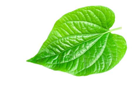 piper: Wildbetal Leafbush (Piper sarmentosum Roxb.)