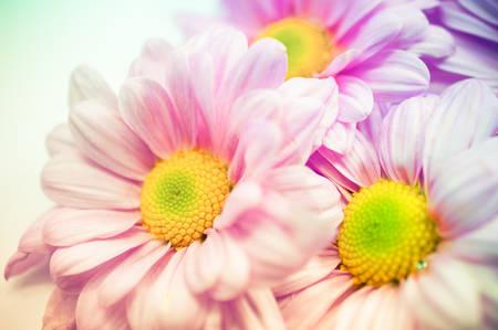 Beautiful chrysanthemum flower background photo