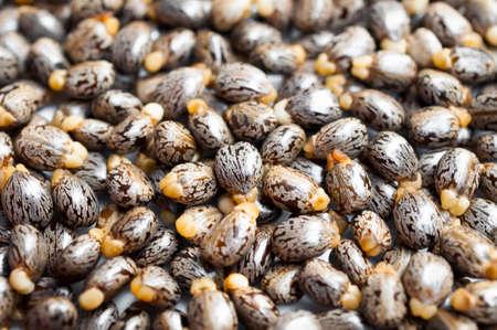 피마 자유 씨앗 - ricinus communis 스톡 콘텐츠