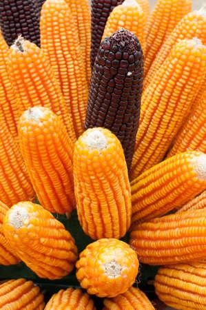 Grains of ripe corn. Macro image. photo