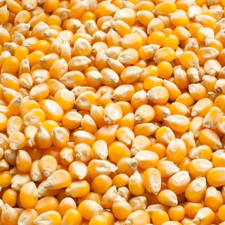 maize cultivation: Bulk of corn grains Stock Photo