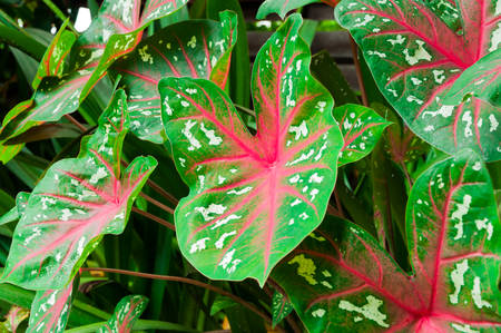bicolor: Colorful leaves of the Caladium plant