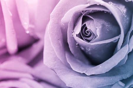 Close up of rose petal, valentine background