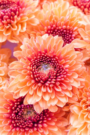 auburn: Closeup of vibrant auburn Chrysanthemums bouquet on white - suited as background