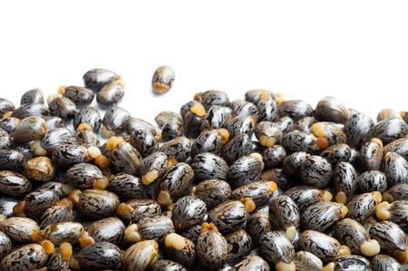 ricin: Castor graines de ricin-p�trole communis