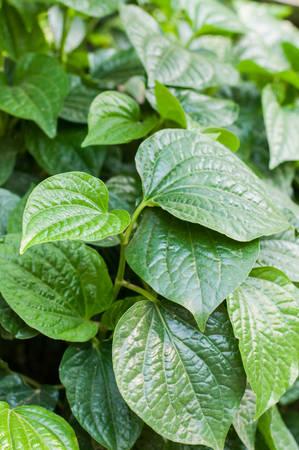 piper: Wild Betel Leafbush  Piper sarmentosum Roxb