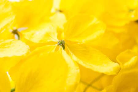 cassia: Cassia flower