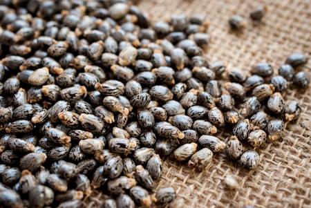Castor oil seedsricinus communis photo