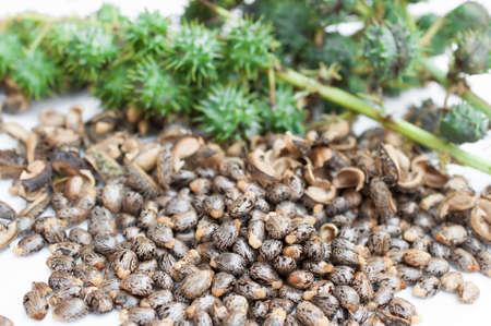 purgative: Castor oil seedsricinus communis