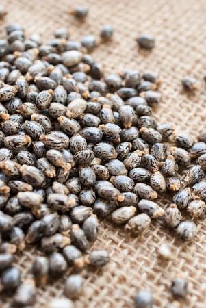 communis: Castor oil seedsricinus communis