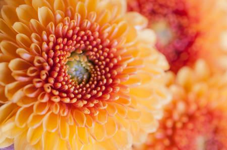 Orangeyellow Fiori di crisantemo Archivio Fotografico