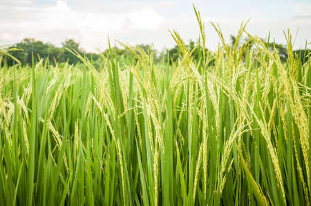 tropical food: Rice field