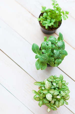 Mosaic plant (Fittonia verschaffeltii), close up, pot plant on white wooden board, Top view photo