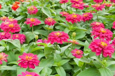 zinnia: Pink Zinnia flower