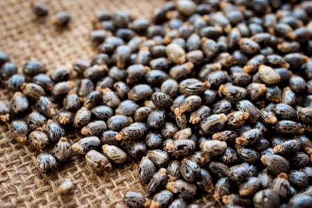 communis: Castor oil seeds-ricinus communis
