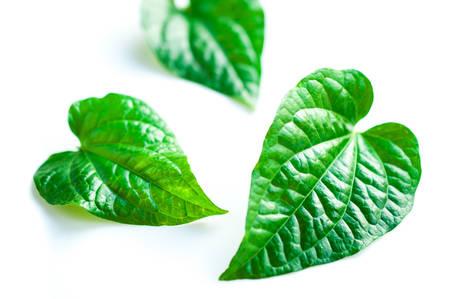 piper: Wild Betel Leafbush , Piper sarmentosum Roxb on white background