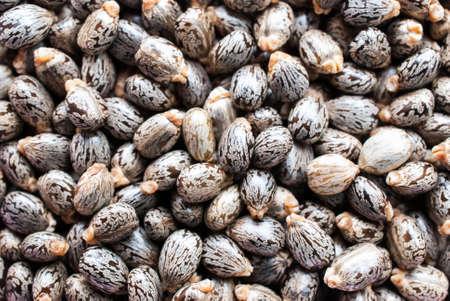 purgative: Castor oil seeds-ricinus communis