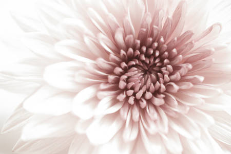 핑크 국화 꽃