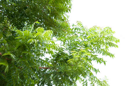 compound: A branch of Azadirachta indica, neem tree showing compound leaves