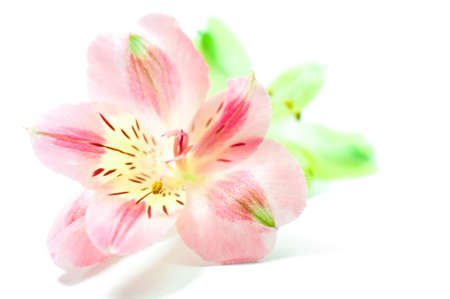 alstroemeria: Alstroemeria flowers, soft tone Stock Photo