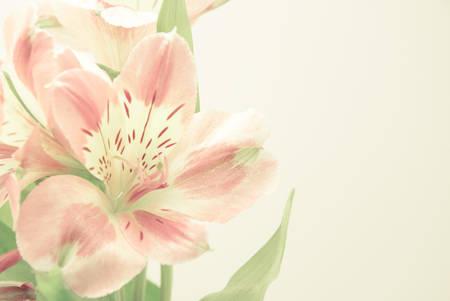 alstroemeria: alstroemeria flowers, soft tone