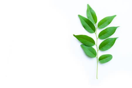 ebony: ebony leaf isolated on white background Stock Photo
