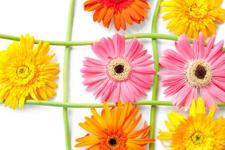 gerbera daisy: gerbera daisy
