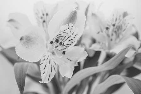 alstroemeria: Alstroemeria flowers, soft tone Stock Photo