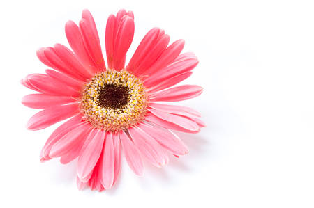 Daisy Gerbera Flower on white.
