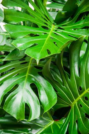 monstera leaf: Philodendron monstera obliqua, green leaf background Stock Photo