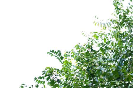 ebony: ebony fruit and leaf isolated on white background