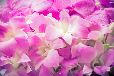 phal: pink orchid flower background